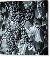 Wine Grapes Bw Canvas Print