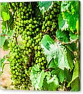 Wine Grapes Canvas Print