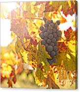 Wine Grapes In The Sun Canvas Print