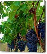 Wine Grapes On The Vine Canvas Print