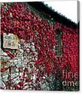 Winery Ivy Canvas Print