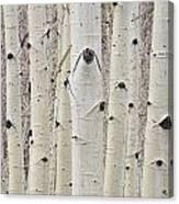 Winter Aspen Tree Forest Portrait Canvas Print