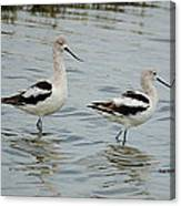 Winter Avocets Canvas Print