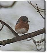Winter Blue Bird 1 Canvas Print