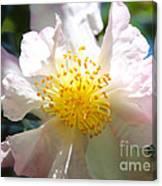Winter Camellia Canvas Print