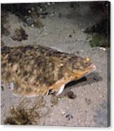 Winter Flounder Canvas Print