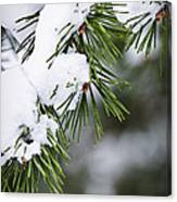 Winter Pine Branches Canvas Print