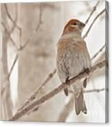 Winter Pine Grosbeak Canvas Print