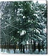 Winter Pine Tree  Canvas Print