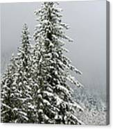 Winter Pines 2013 Canvas Print