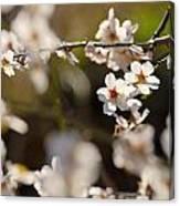 Winter Spring Almond Flowers Canvas Print