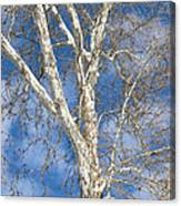 Winter Sycamore Canvas Print