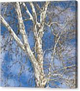 Winter Sycamore Canvas Print