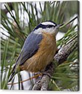 Winter Visitor - Red Breasted Nuthatch Canvas Print