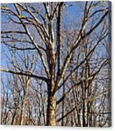 Winter White Oak Canvas Print