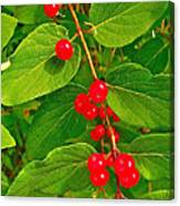 Winterberry Along Rivier Du Nord Trail In The Laurentians-qc Canvas Print