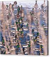 Wintering Mallards Canvas Print