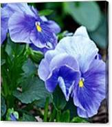 Winter's Blue Pansies Canvas Print