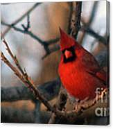 Northern Cardinal Red Beauty  Canvas Print