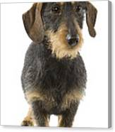 Wire-haired Dachshund Canvas Print