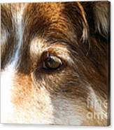 Wise Old Collie Eyes Canvas Print