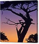 Witch Tree Monterey California Canvas Print