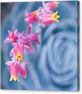 with affection - Echeveria glauca Canvas Print