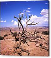 Withered Tree Paria Canyon Canvas Print