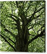Witness Tree Canvas Print