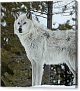 Wolf - Curiousity Canvas Print