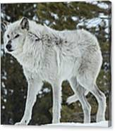 Wolf - Discovery Canvas Print