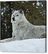 Wolf - Peaked Interest Canvas Print