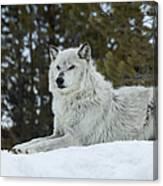 Wolf - Resting Canvas Print