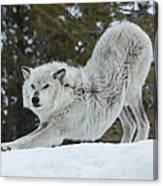 Wolf - Yoga Canvas Print