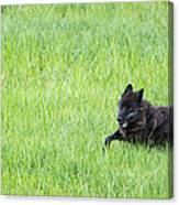 Wolf 889f Canvas Print
