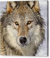 Wolf Face To Face Canvas Print