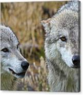 Wolf Glare Canvas Print
