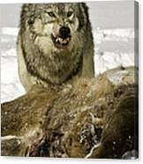 Wolf Protecting Kill Canvas Print