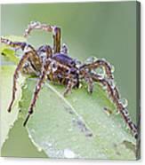Wolf Spider In Dew  Canvas Print