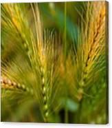 Wonderous Wild Wheat Canvas Print
