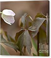 Wood Anemone Wildflower - Anemone Quinquefolia L.  Canvas Print