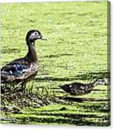 Wood Duck And Baby Canvas Print