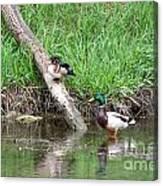 Wood Duck And Mallard Canvas Print