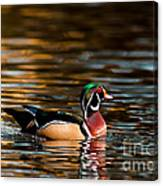 Wood Duck At Morning Canvas Print