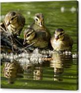 Wood Duck Babies Canvas Print