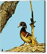 Wood Duck Drake In Tree Canvas Print
