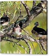 Wood Duck Drakes In Tree Canvas Print