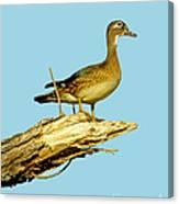 Wood Duck Hen In Tree Canvas Print