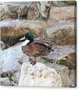 Wood Duck On Fountain Canvas Print