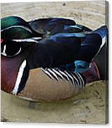 Wood Duck Canvas Print